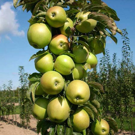 колонновидные яблони в саду