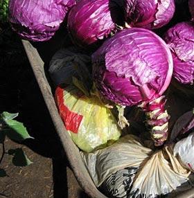 как хранить капусту в погребе