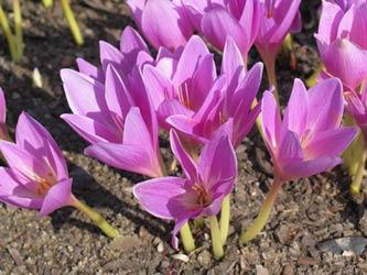 луковичные растения в осеннем саду