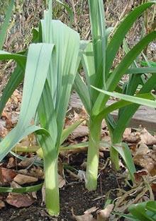 как вырастить лук-порей на даче