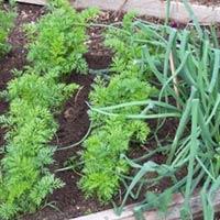 Выбираем соседей моркови для хорошего урожая. Выращиваем семена моркови
