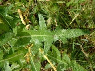 трава осот полевой