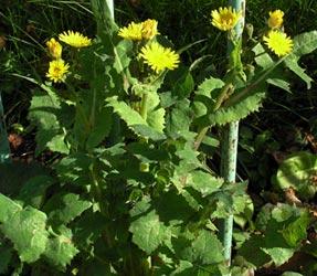 растение осот огородный