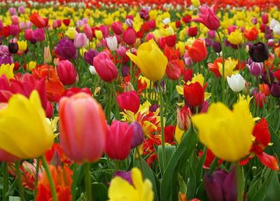 Сортовые тюльпаны в цвету