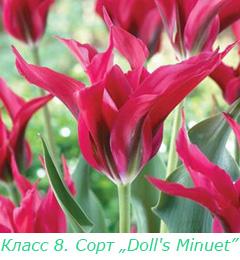 Класс 8. Зеленоцветковые тюльпаны