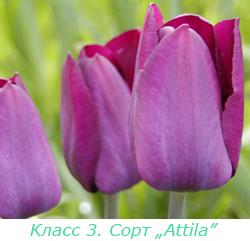 Класс 3. Триумф-тюльпаны