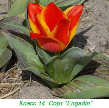 Тюльпаны Грейга. 14 класс