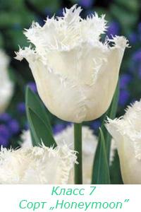 Класс 7. Бахромчатые тюльпаны