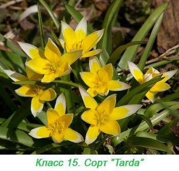 Дикорастущие виды и другие тюльпаны 15 класса