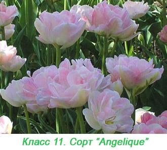 Махровые поздние тюльпаны