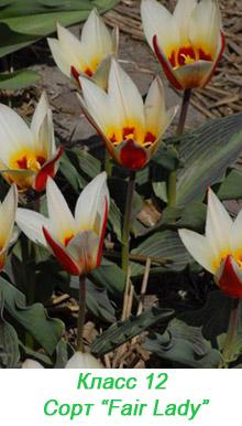 Тюльпаны Кауфмана. 12 класс