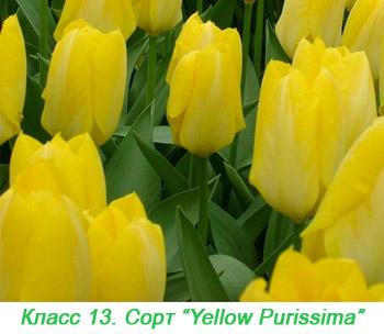 Тюльпаны Фостера. 13 класс