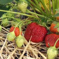 Как выращивать клубнику без химии