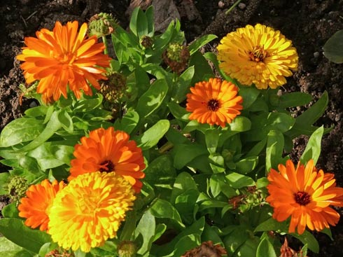 цветки календулы и их выращивание