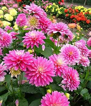 цветы георгины на даче
