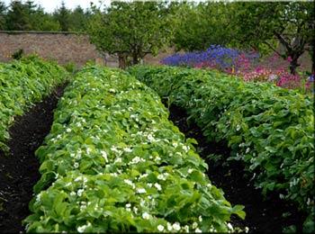 узкие грядки в органическом земледелии