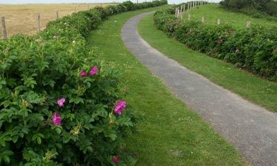 живая изгородь из розы ругозы