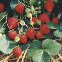 ремонтантная клубника: выращивание и уход