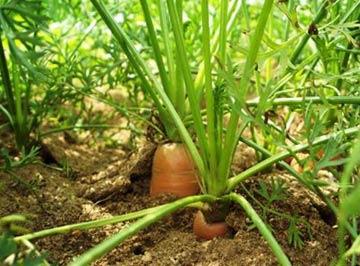 как вырастить морковь на даче