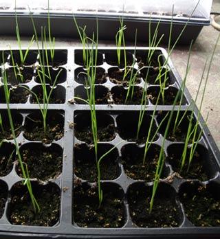 выращивание лука-порея через рассаду