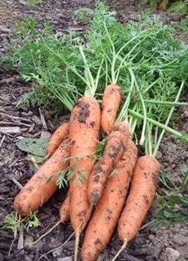 сорта моркови: выбор лучших из них