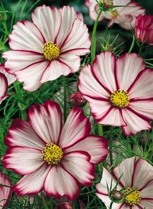 цветок космос пикоти
