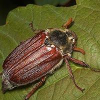 чем питается майский жук
