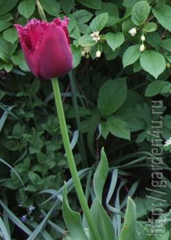 красивый бахромчатый тюльпан