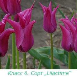 Класс 6. Лилиецветные тюльпаны