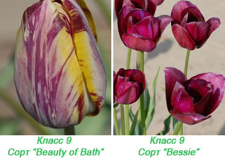 Рембрандт-тюльпаны